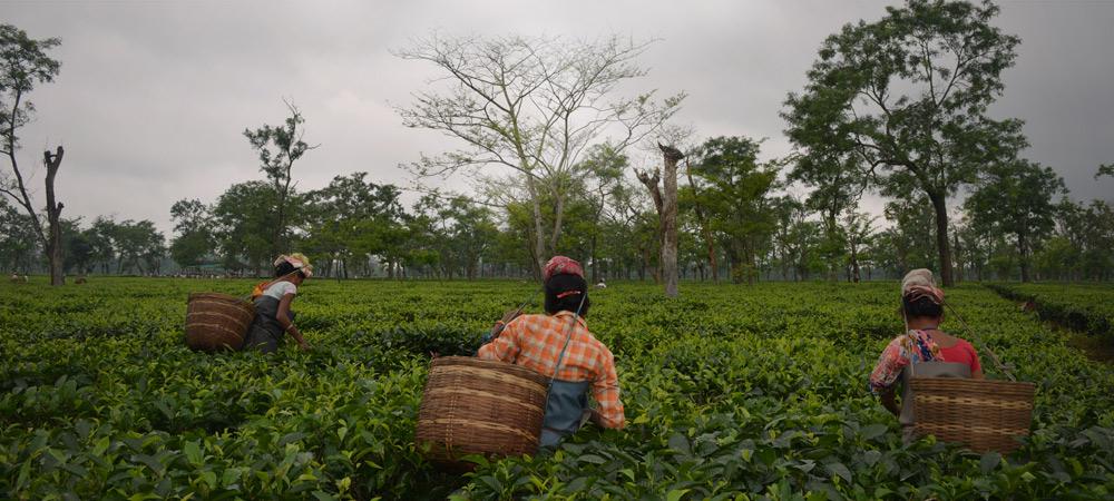 Assam tea gardens during summer flush/second flush
