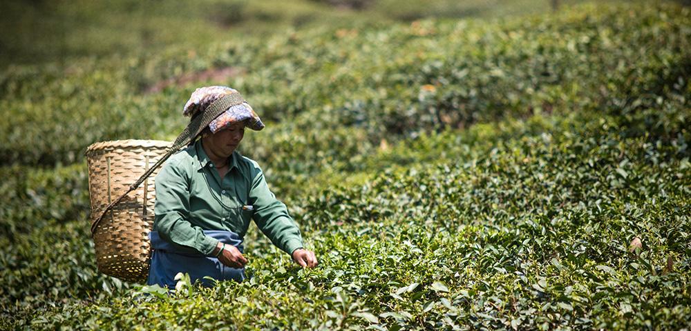 Darjeeling's tea gardens