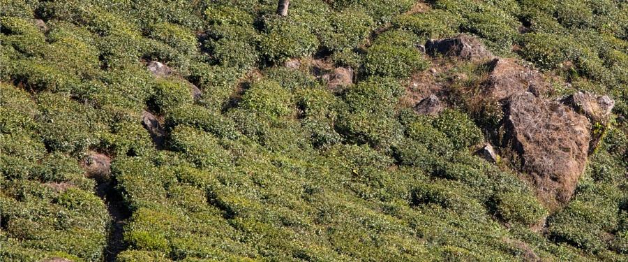 tea bushes