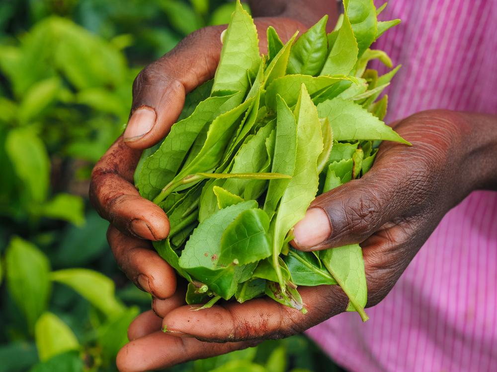 Assam Tea Information Still Steeping Teabox Blog