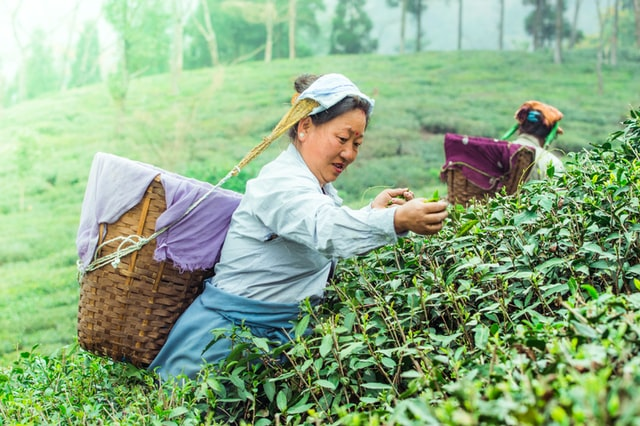 In most tea gardens, growers work in tandem with nature including pests (Picture courtesy: Rajat Sarki)